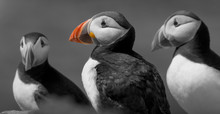 Monochrome Picture Of Puffins ...