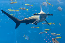 Hammerhead Shark In The Aquarium. The Great Hammerhead (Sphyrna Mokarran) Is The Largest Species Of Hammerhead Shark, Belonging To The Family Sphyrnidae. Atlantis, Sanya, Hainan, China.