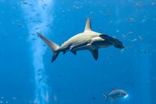 Hammerhead Shark In The Aquari...