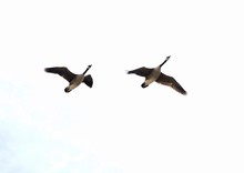 Low Angle View Of Two Geese Flying In Sky