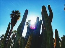 Low Angle View Of Cactus Plants Against Blue Sky And Sunlight