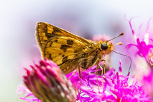 A Fiery Skipper Butterfly Sits...
