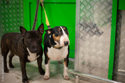 Fotografia Dogs are attached and waiting for the owner.