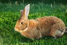 Flemish Giant Rabbit, Grey, Brown Natural Colour