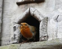 Close-up Of European Robin On Birdhouse