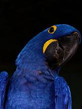 The Hyacinth Macaw, Anodorhync...