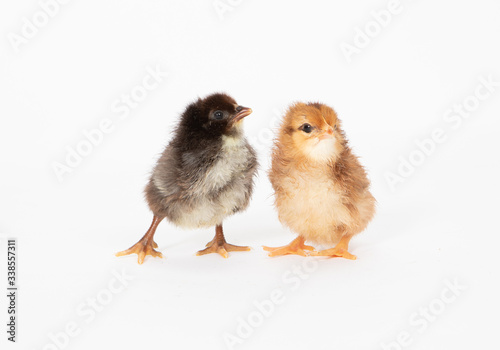 Fotografie, Obraz two chicks
