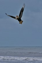 Low Angle View Of Crested Caracara Flying Over Sea While Carrying Fish In Mouth