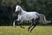Dappled Grey Horse With Plated...