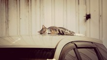 Cat Relaxing On Car Roof