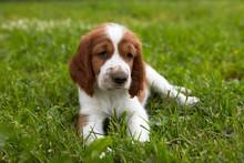 Cute Puppy Welsh Springer Span...