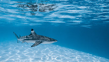 Black Tip Shark Swimming In Mo...