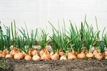 Planting Onion In Garden. Plan...