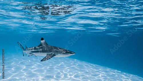 Fototapeta Black tip shark swimming in Moorea's lagoon