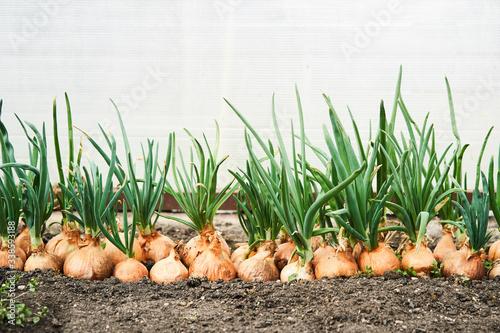 Leinwand Poster Planting onion in garden