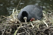 American Coot And Chick On Nest At Lakeshore