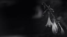 Rain Drops On Flower Buds