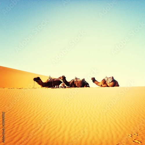 Fotografie, Tablou Side View Of Camels Relaxing At Desert