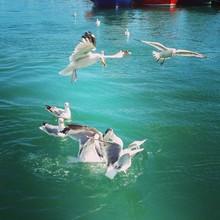 Seagulls Landing On Water
