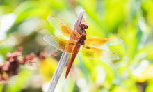 Beautiful Bright Orange Flame Skimmer Dragonfly (Libellula Saturata) Perched On A Stick In Eastern Colorado