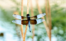 Widow Skimmer Dragonfly (Libel...