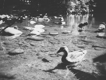 Ducks In River On Sunny Day