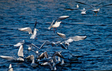 Seagulls Landing On Sea