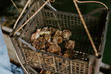 Fresh Oysters Caught In Farm Box