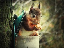 Close-up Of Squirrel Eating Nut From Bird Feeder