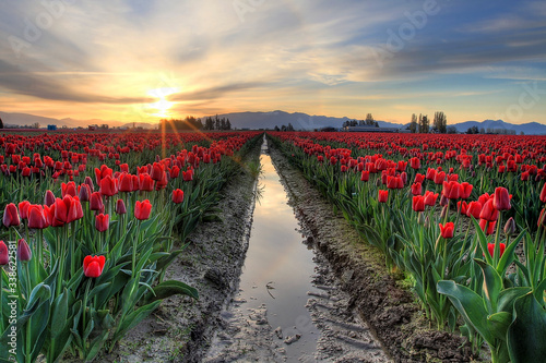 Photo Field Of Red Tulips
