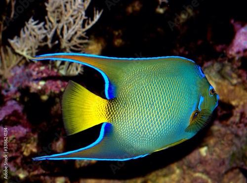 Photo Angelfish Swimming In Sea