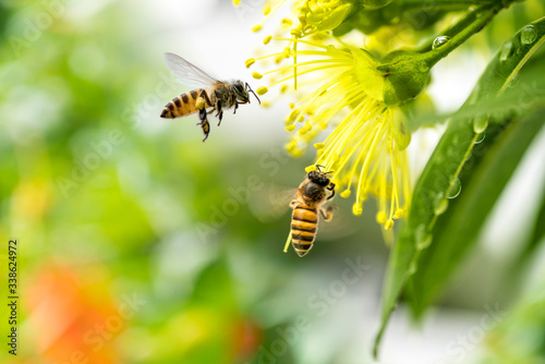 Flying honey bee collecting pollen at yellow flower Canvas Print