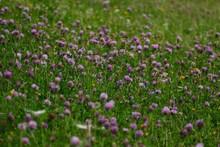 Meadow With Purple Wildflowers