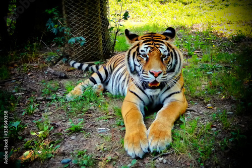 Portrait Of Tiger Resting On Land Fototapete