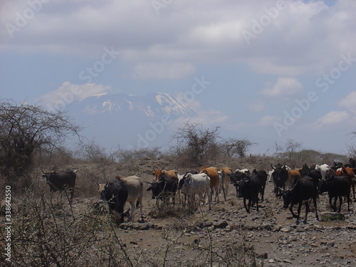 Valokuvatapetti Herd Of Cows Walking Across Arid Terrain