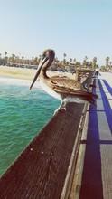 Pelican Perching On Railing