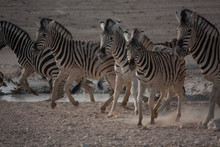Group Of Zebras Running