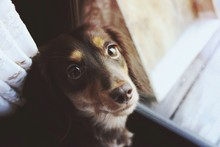 Brown Dog By Glass Door Looking At Camera
