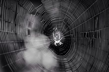 Close-up Of Spider In Web
