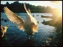 White Swan With Spread Wings On Lake