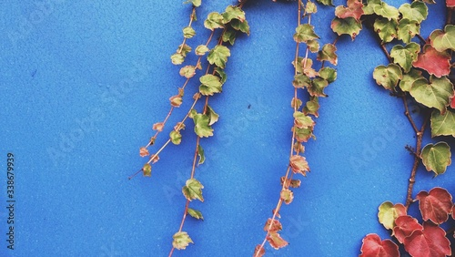 Tela Creepers Growing On Blue Wall During Autumn