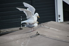 Seagull With Spread Wings Stan...