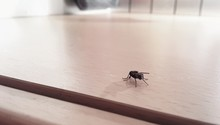 Close-up Of Housefly On Table ...