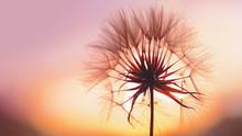Dandelion At Sunset . Freedom ...