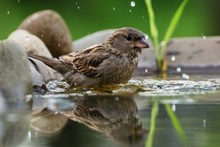 Young Sparrow Bathes In The Wa...