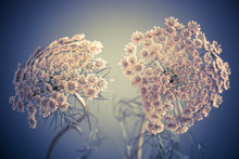 Close-up Of Queen Annes Lace I...