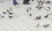 Large Group Of Pigeons On Pave...