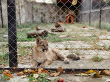 Lion Cub In Cage