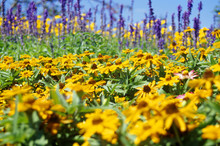 Black-eyed Susans Blooming On ...
