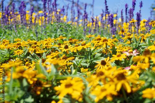 Fototapeta Black-eyed Susans Blooming On Field